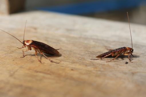 التخلص من الصراصير في المنزل